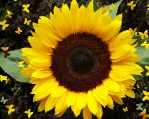 Код 11101300000: Отходы от предпосевной подготовки семян масленичных культур
