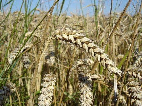 Код 11110000000: Отходы при выращивании зерновых и зернобобовых культур