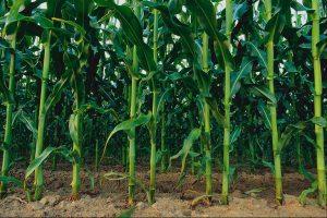 Код 11111004235: стебли кукурузы