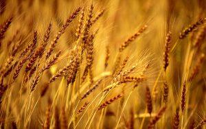Код 11112006495: зерноотходы ржи