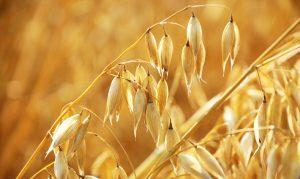 Код 11112007495: зерноотходы овса