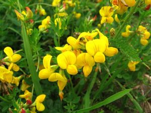 Код 11113011495: отходы механической очистки семян многолетних бобовых трав