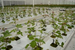 Код 11191111615: субстраты минераловатные для тепличного растениеводства отработанные
