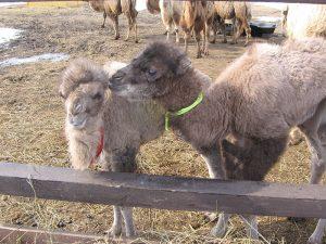 Код 11230000000: Отходы разведения верблюдов и прочих животных семейства верблюжьих