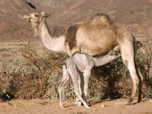 Код 11231001334: навоз верблюжий свежий