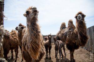 Код 11231002295: навоз верблюжий перепревший