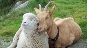 Код 11240000000: Отходы разведения овец и коз